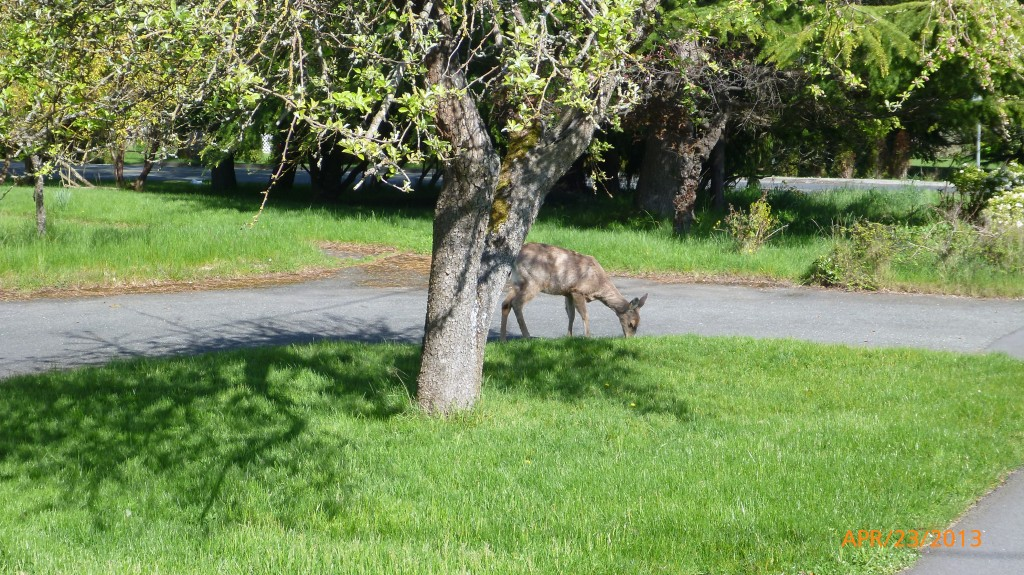 A deer eating in the Victoria suburbs