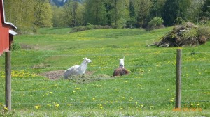 Llama's on rolling country fields
