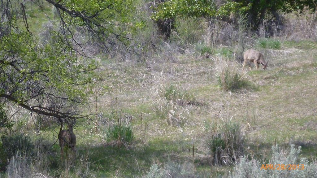 Deer at the Osoyoos Desert Centre