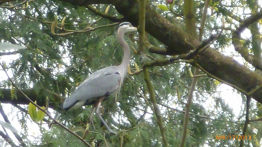 Blue Heron just landed in a tree