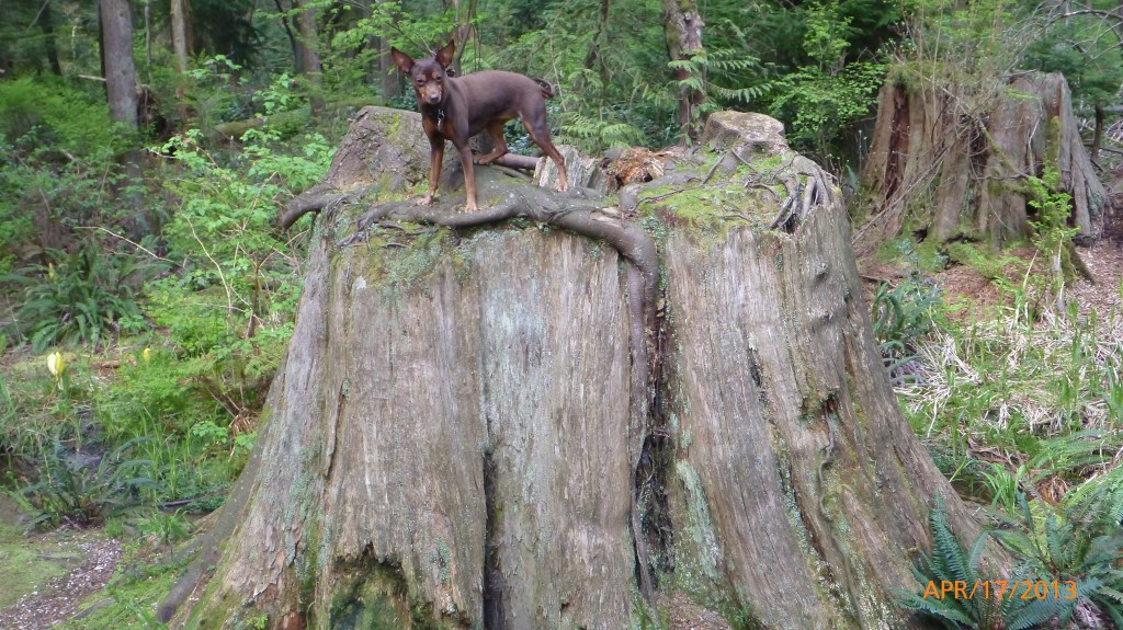 Dash exploring a tree stump