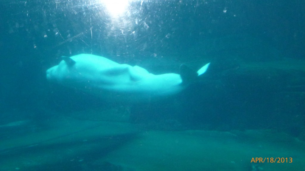 Beluga swimming on its back