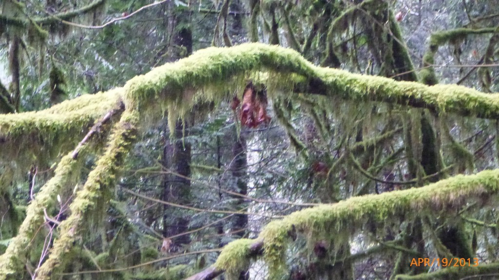Moss hanging from trees in Lynn Canyon Park