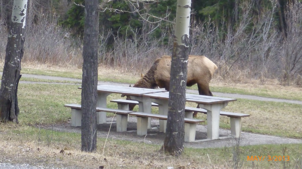 An elk grazing by a picnic table just off the bow valley parkway - I dared not get any closer!
