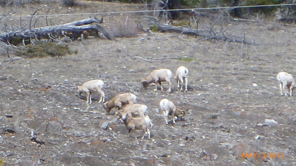 It's hard to tell, but these are bighorn sheep, spotted on the bow valley parkway (they were pretty high up, so this is the closest I could zoom on my camera)