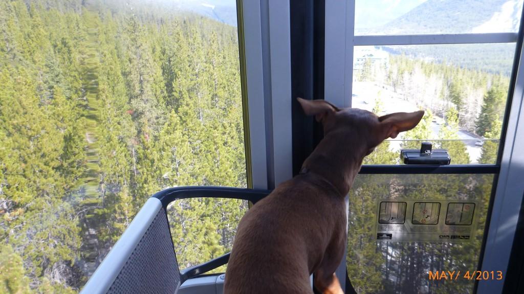 Dash enjoying the Banff Gondola ride