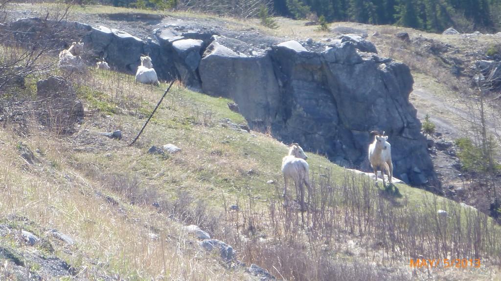 A hear of rocky mountain sheep