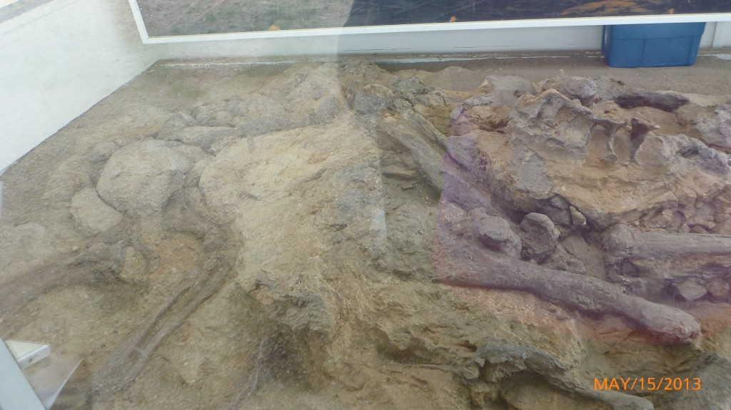 The front fossils of a Hadrosaur