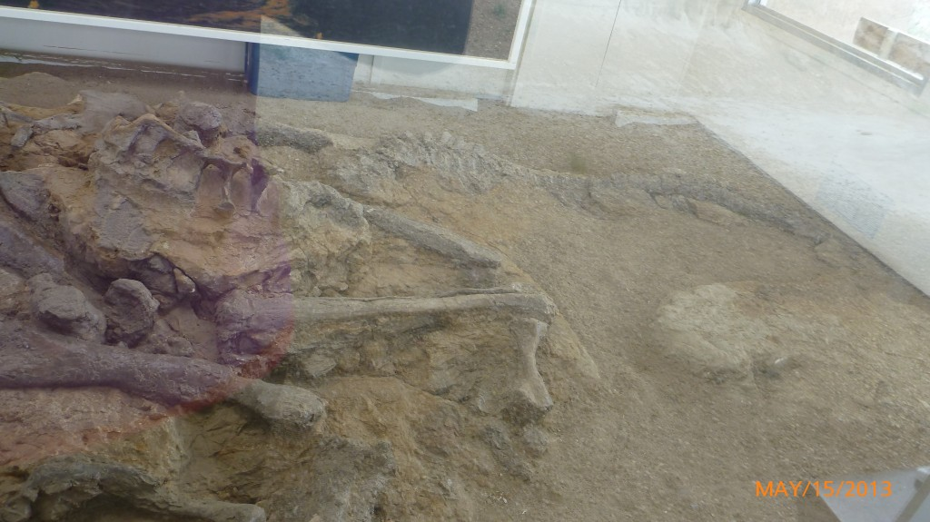 The back of a Hadrosaur fossil