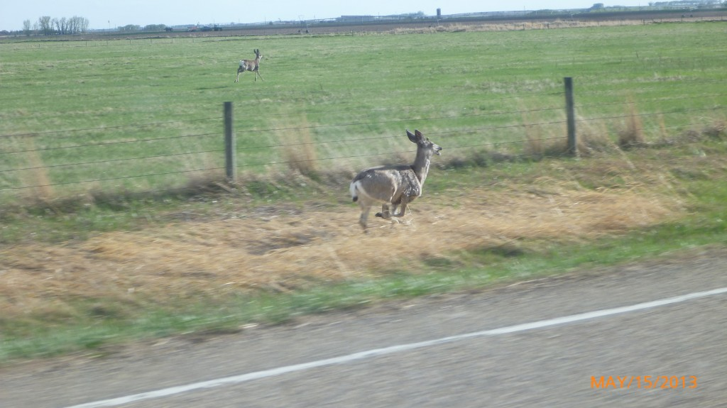 Startled these deer as driving back from the Dinosaur Provincial Park