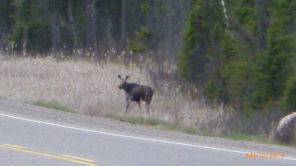 A Moose!!!!