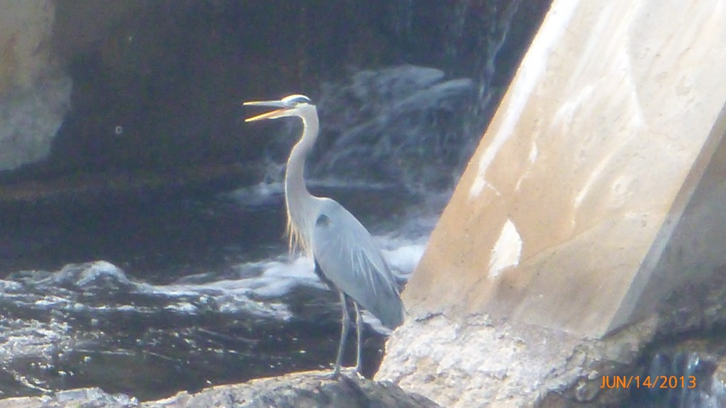 A blue heron visited us while having dinner on the balcony at the hotel