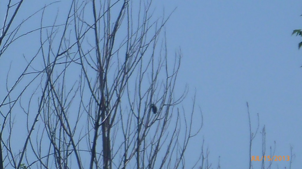 And here's the devil bird scoping out it's next victim (I was not deemed a worthy opponent! lol!)