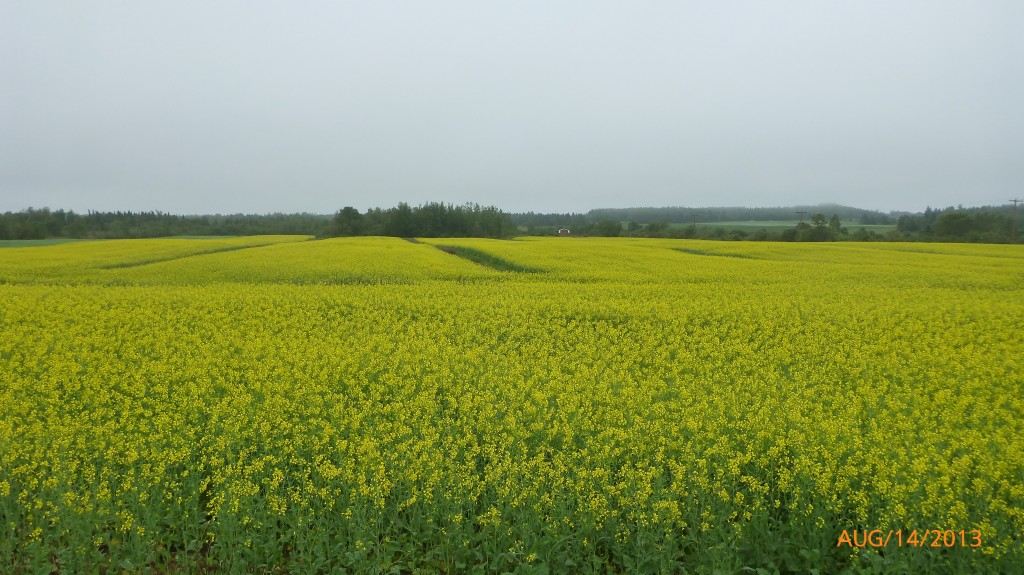 Passing by a field of mustard flowers - the brightest part of my day