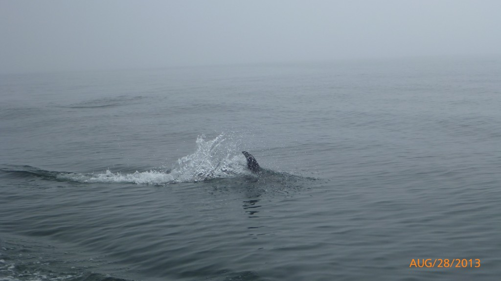The dolphins swimming with our boat