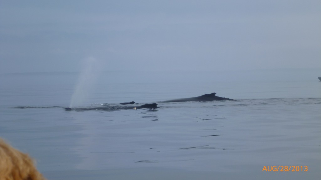 A humpback blowing water.  They give a really load blow before the roll and head under the water