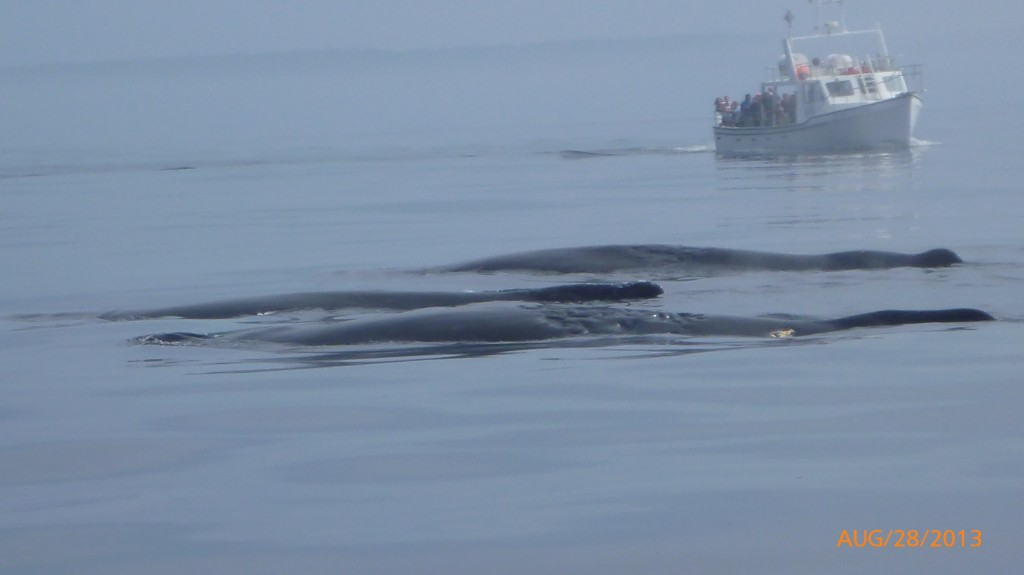 Humpback whales resting
