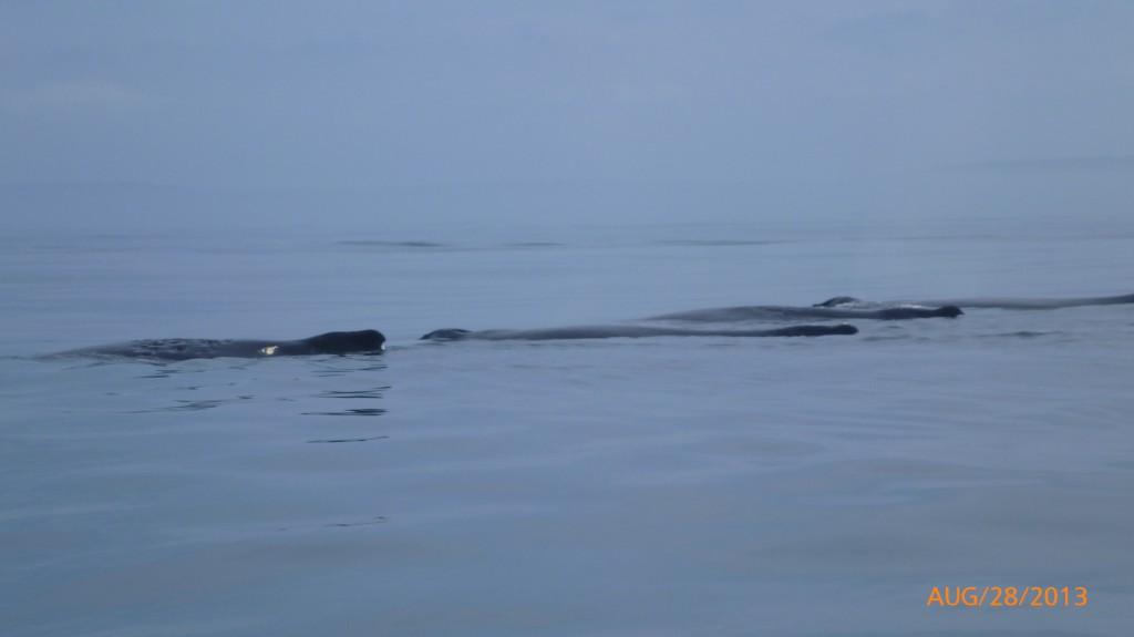 4 humpback whales