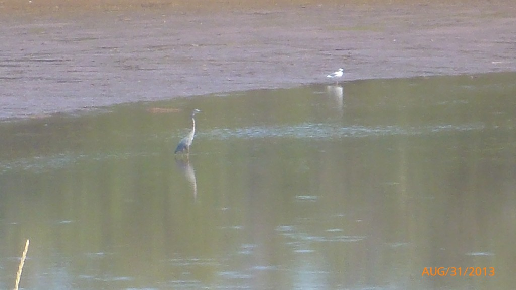 Haven't seen a blue heron for a while