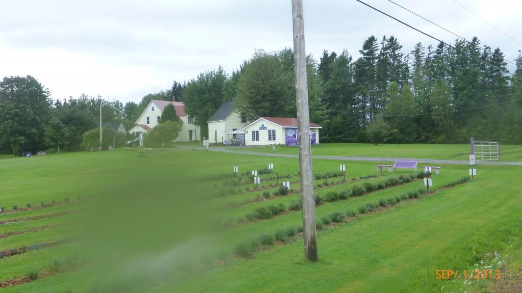 A lavender farm