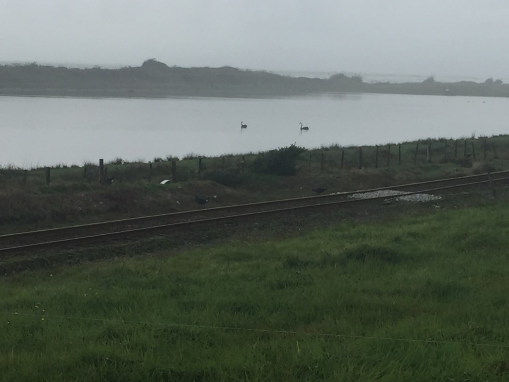 More black swans swimming