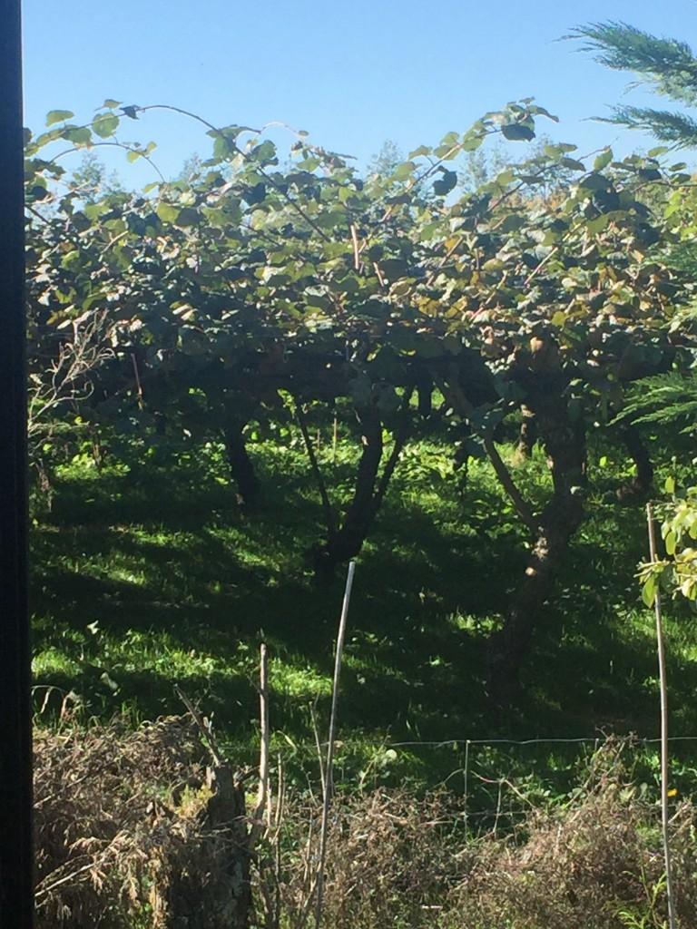 A kiwi fruit tree