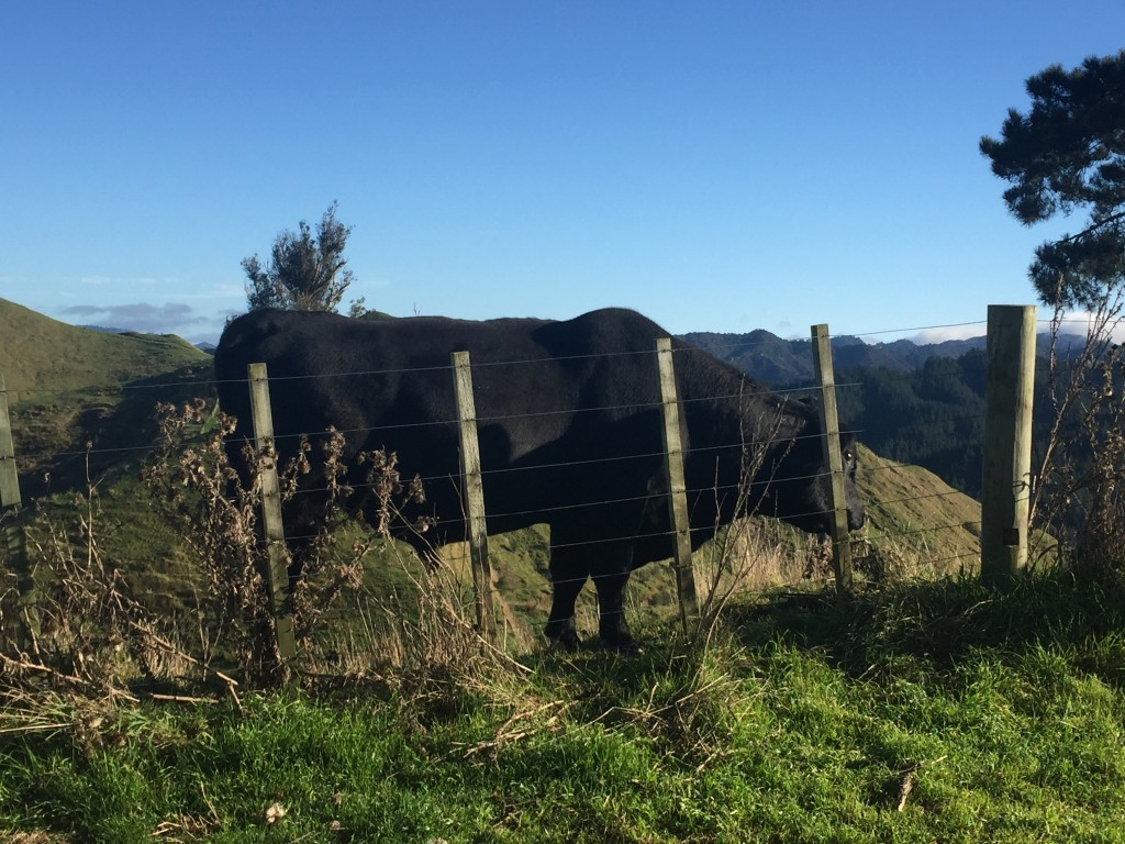 You can't tell in the picture, but about a foot on the other side of the cow is a cliff.  I'm still shocked how a cow was up here!
