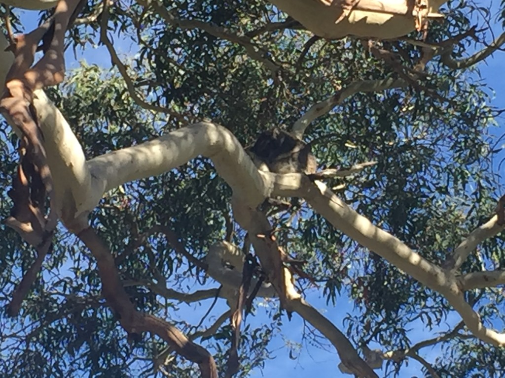 It's REALLY hard to see, but there is a Koala asleep in that tree!