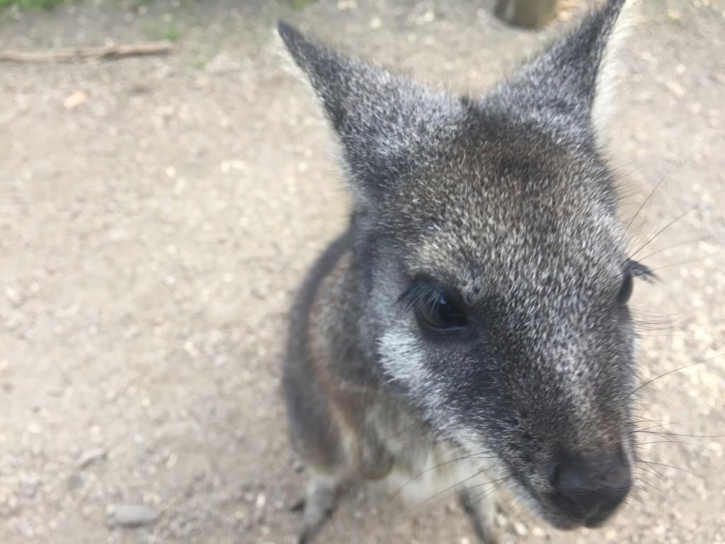 A wallaby closeup