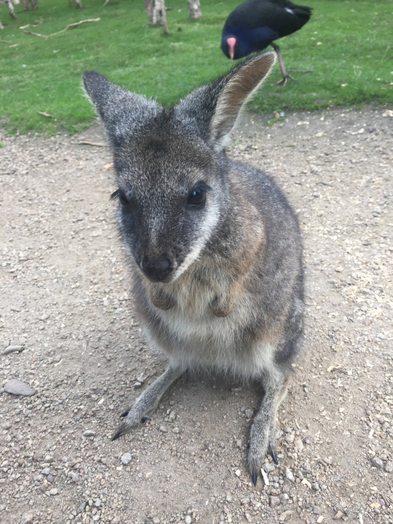 And a wallaby selfie