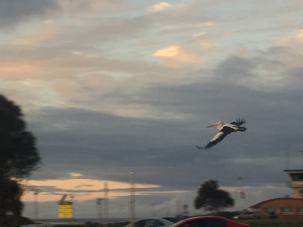 Actually got a picture of a pelican in flight