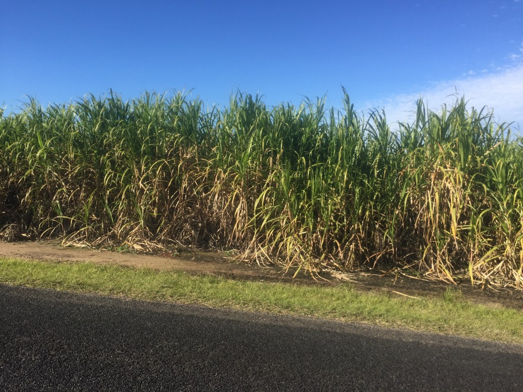 A closer look at the sugarcane