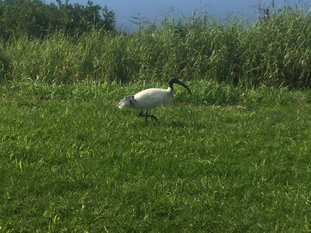 These birds can also be found everywhere in Australia.  They are called an Australian White Ibis