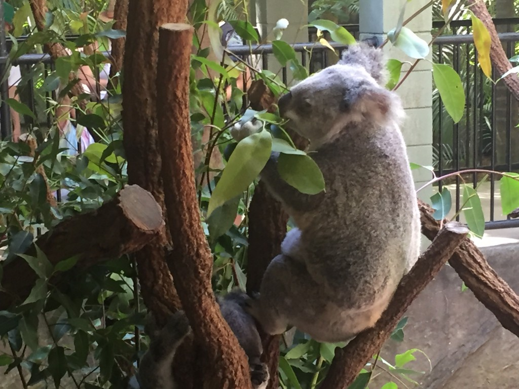 Busy eating the eucalyptus leaves