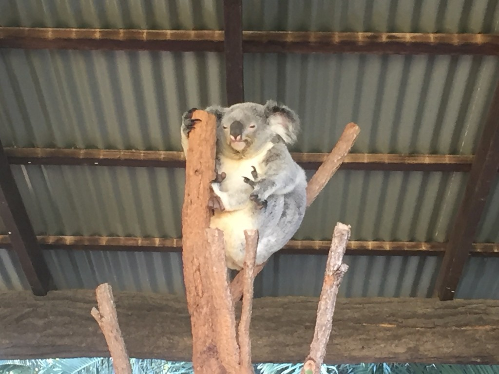 A yawning koala.....it's so hard to shortlist the koala pics!