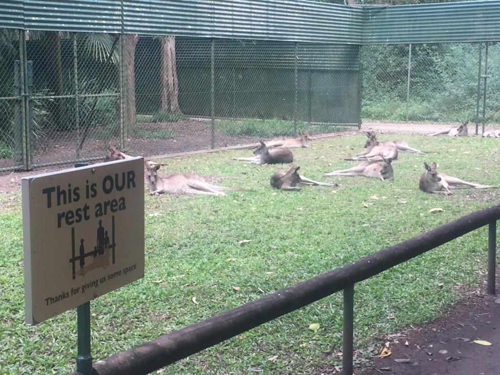Kangaroo's chillin'
