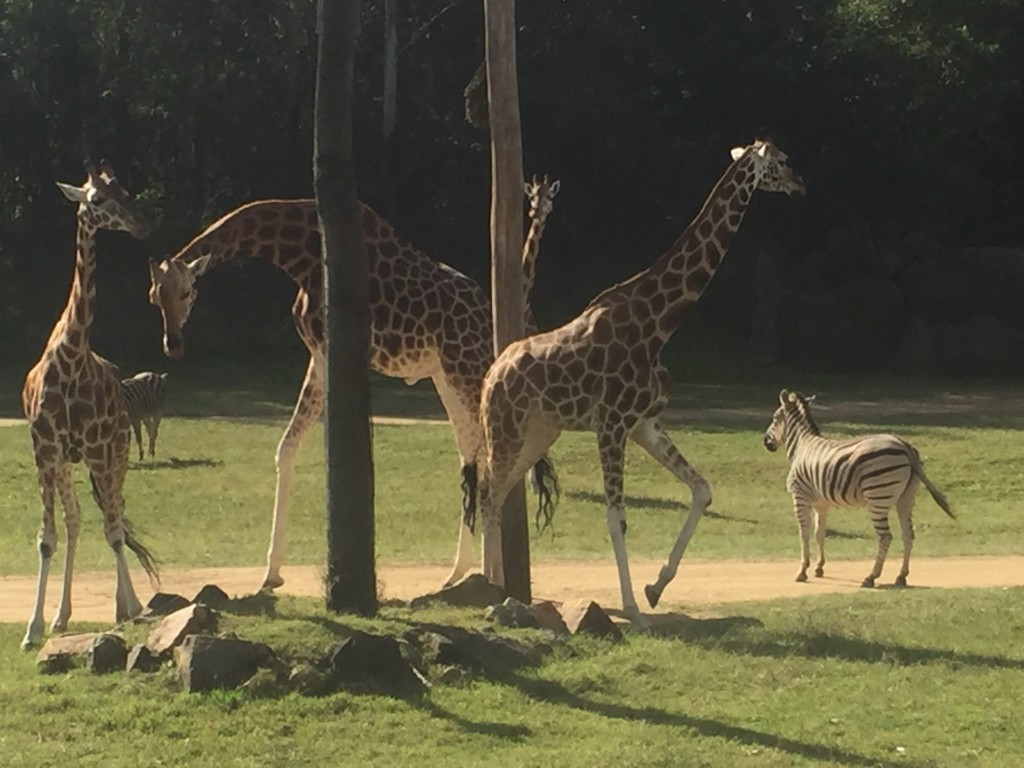 These guys were pretty fun to watch.  The giraffe's would eat their food from the tree, dropping some on the ground and then the zebra's would come in and eat what was dropped on the ground, using their hindlegs to kick the giraffe's out of the way if needed!