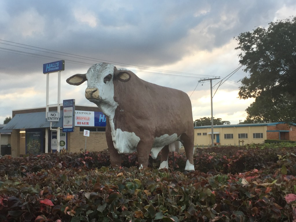 Rockhampton, also known as Rocky is the beef capital of Australia. They have 6 cow sculptures around town for each of the main breeds they have in the area. Apparently most, if not all, of the horns of the cow sculptures have been taken as souvenirs!